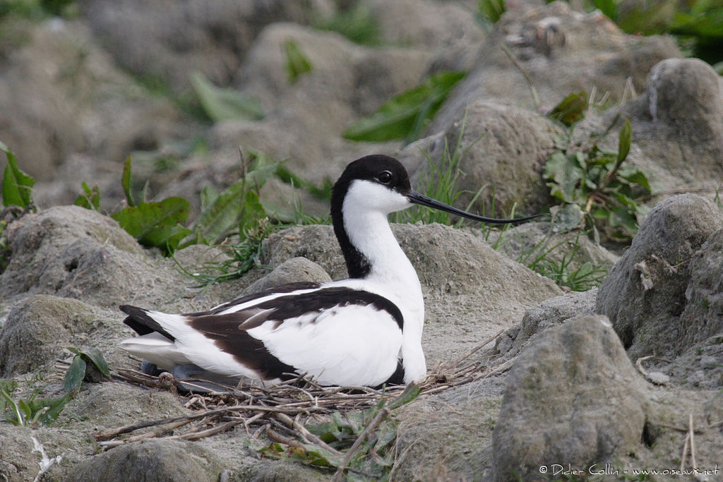 Pied Avocetadult breeding, identification, Reproduction-nesting