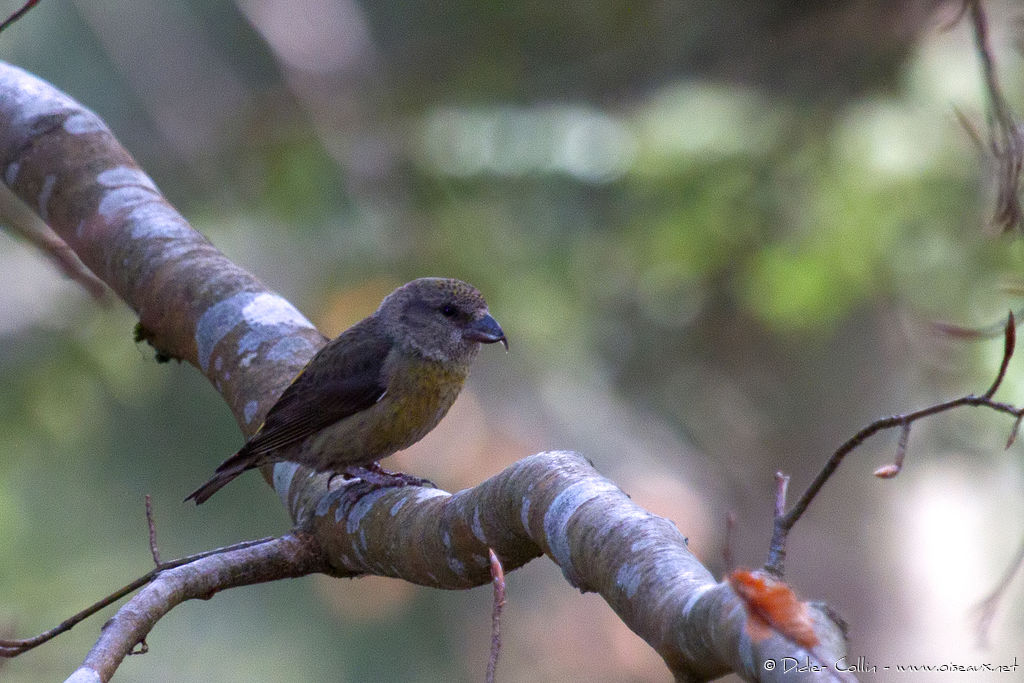 Red Crossbill female adult