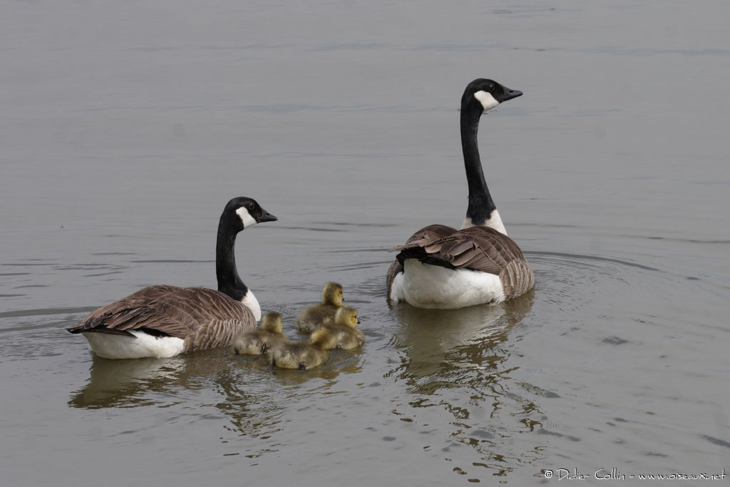 Canada Goose, swimming, Reproduction-nesting