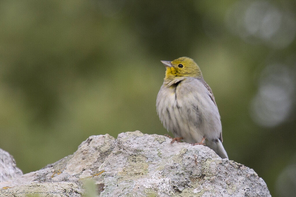 Cinereous Bunting male adult