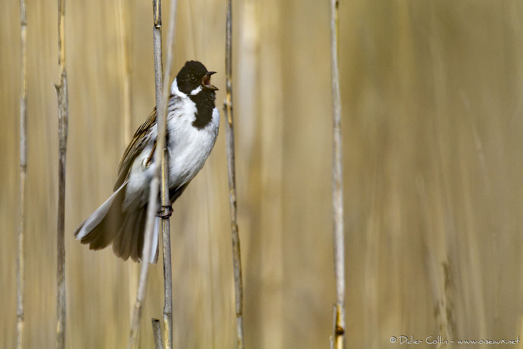 Common Reed Bunting male adult breeding, song