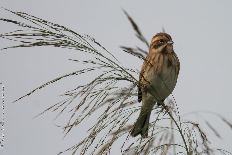 Common Reed Bunting, identification