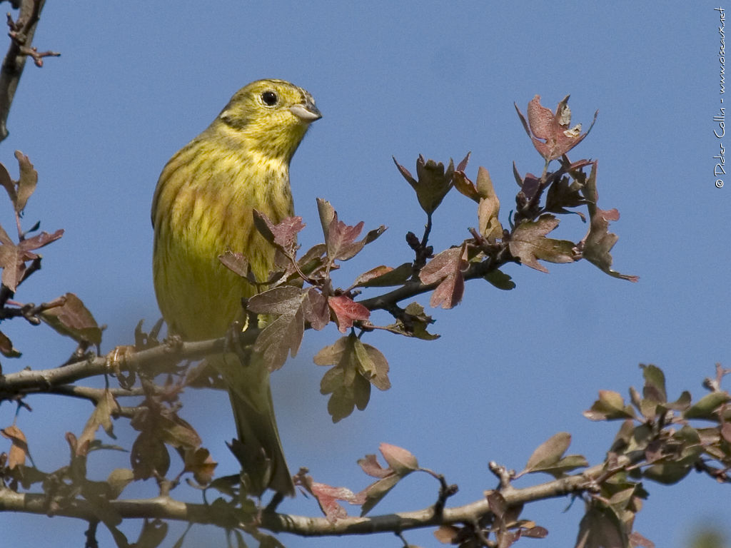 Yellowhammer male adult breeding