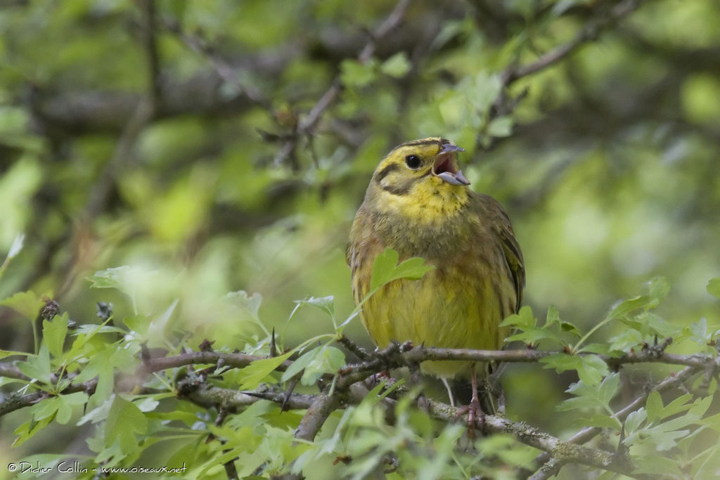 Yellowhammer male adult, song