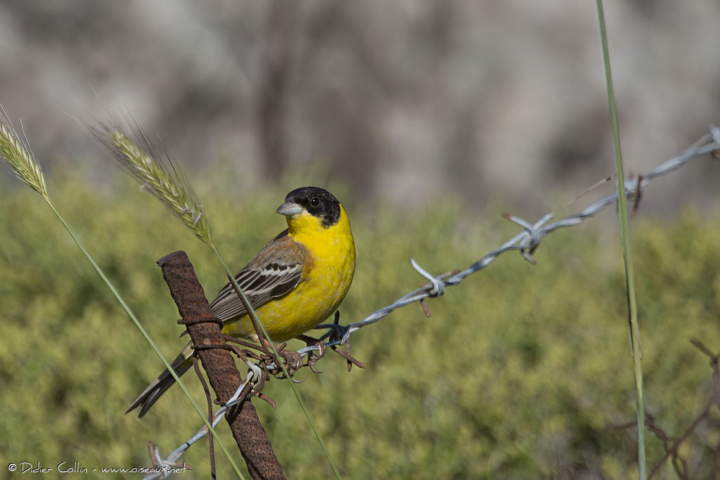Black-headed Bunting male adult