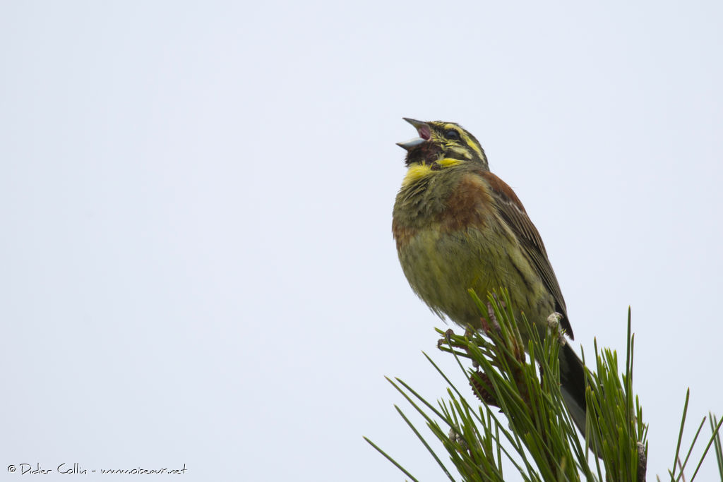 Cirl Bunting male adult, song