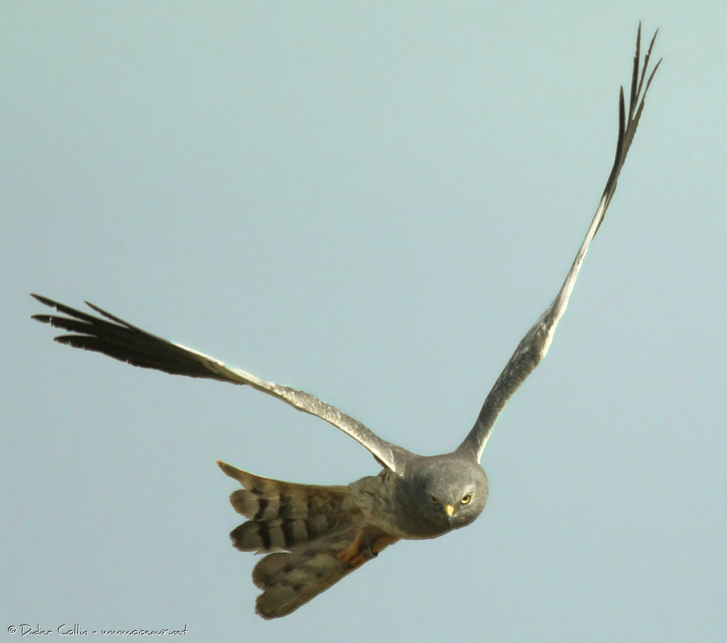 Montagu's Harrier male adult, Flight