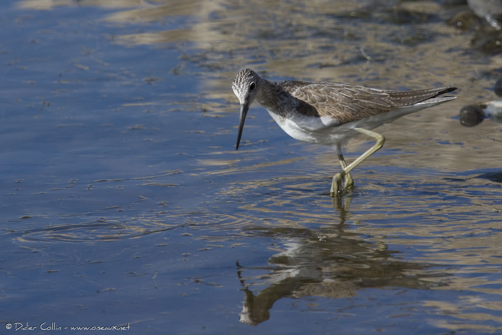 Common Greenshank, identification
