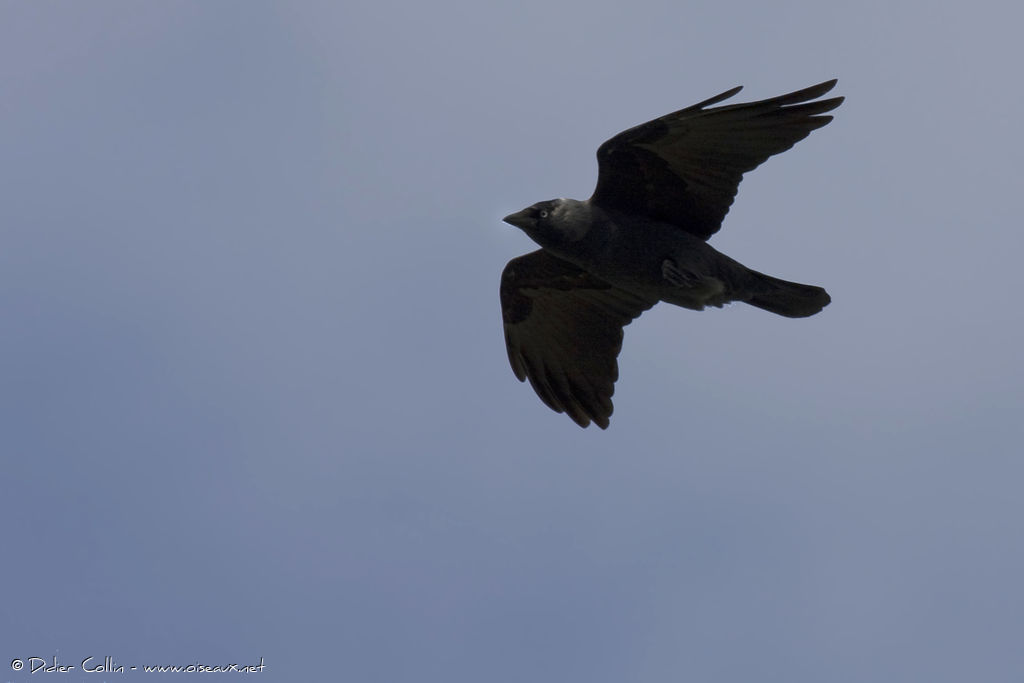 Western Jackdaw, Flight