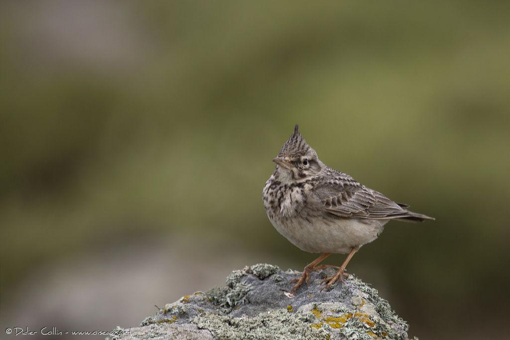 Oiseau huppe for Petit oiseau avec houpette