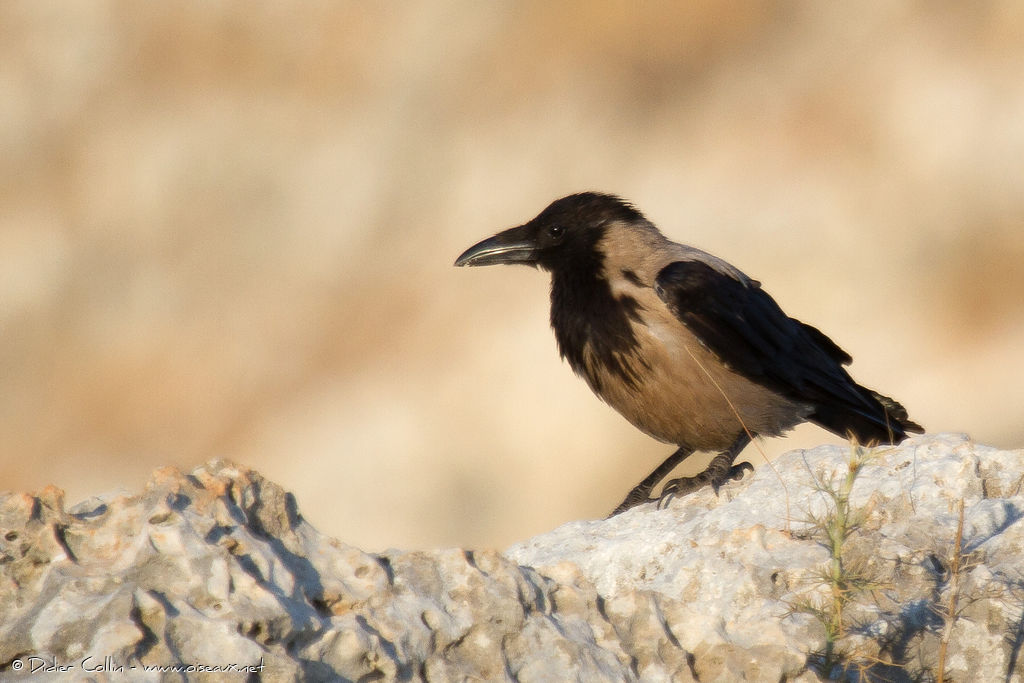 Hooded Crowadult, identification