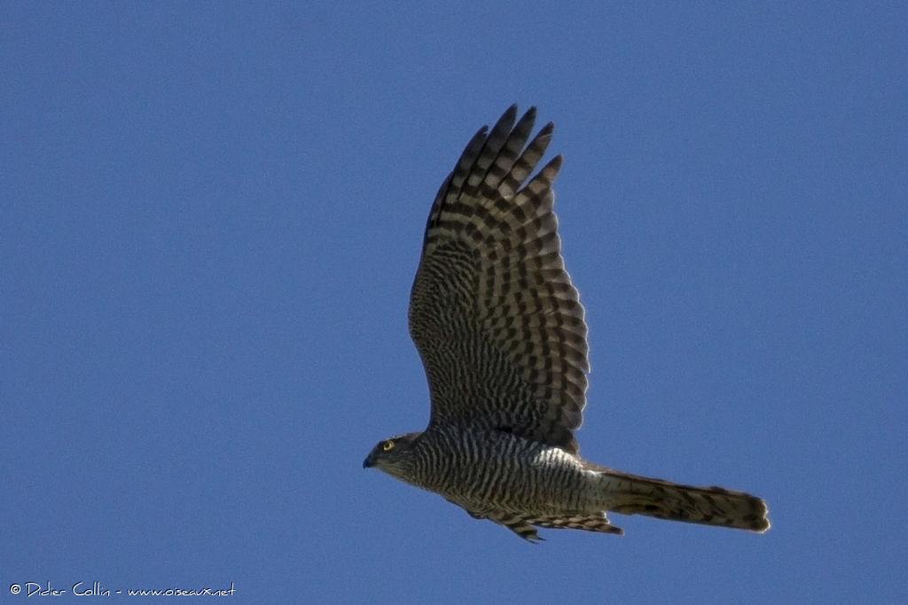 Épervier d'Europe mâle adulte, identification