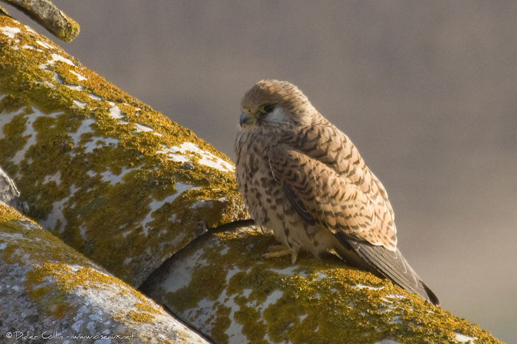Lesser Kestrel female adult, identification