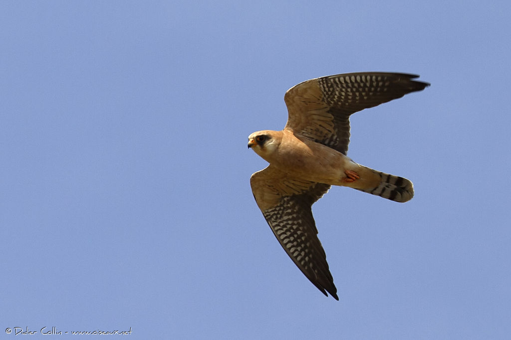 Red-footed Falcon female adult breeding, Flight