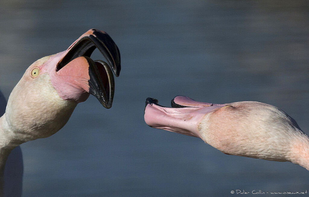 Greater Flamingo, close-up portrait, courting display, Behaviour
