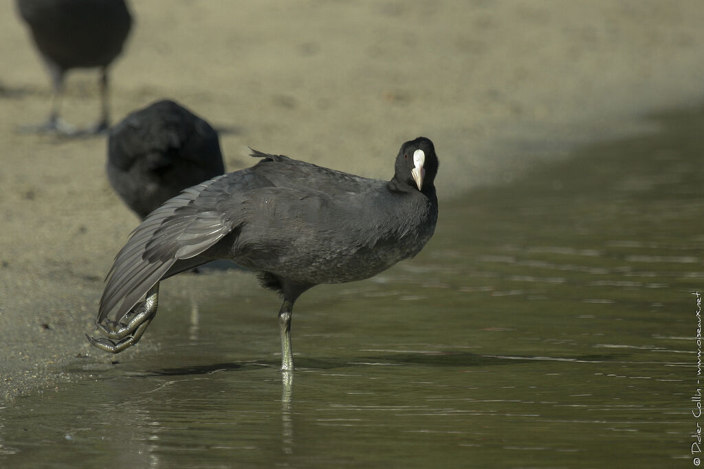 Eurasian Coot, identification