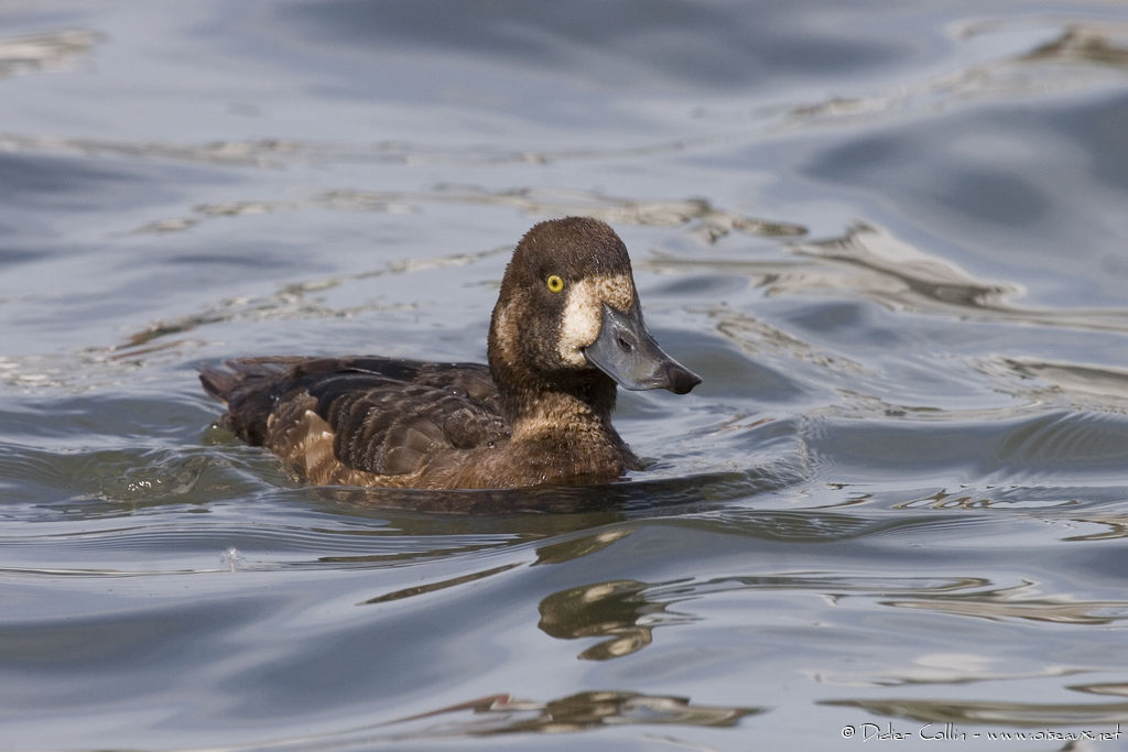 Greater Scaup female, identification