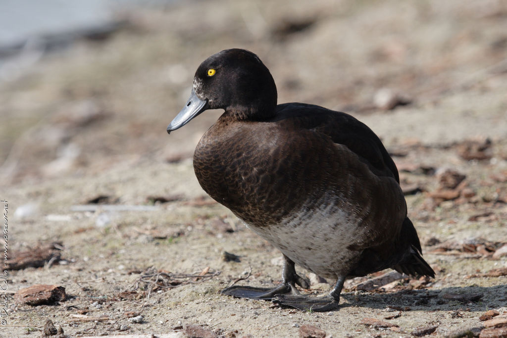 Tufted Duck female adult