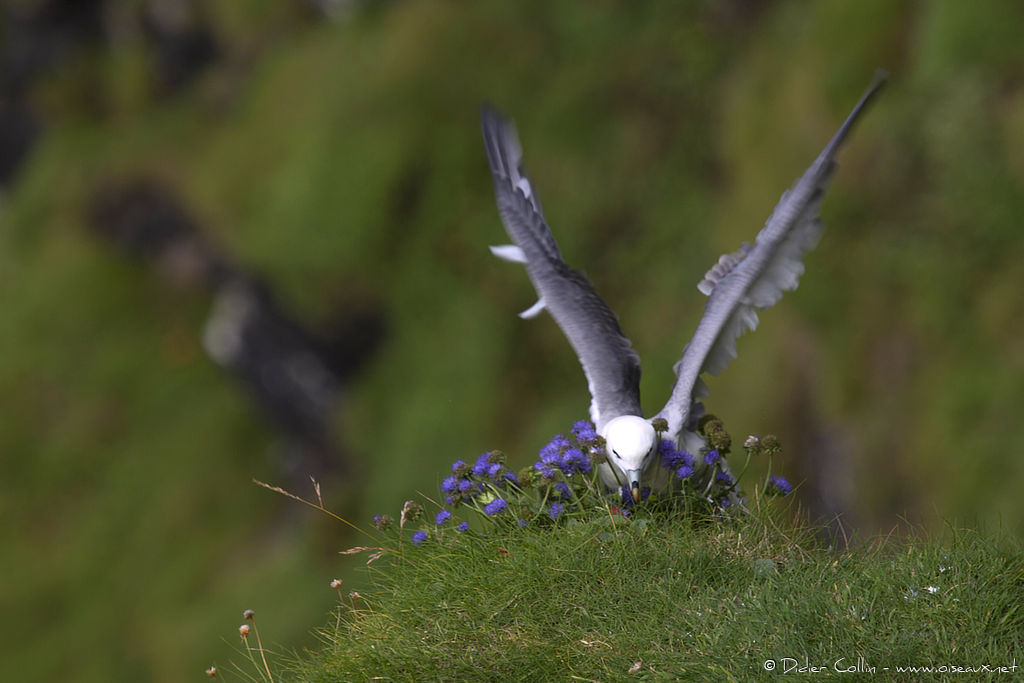 Fulmar boréaladulte, Vol, Comportement