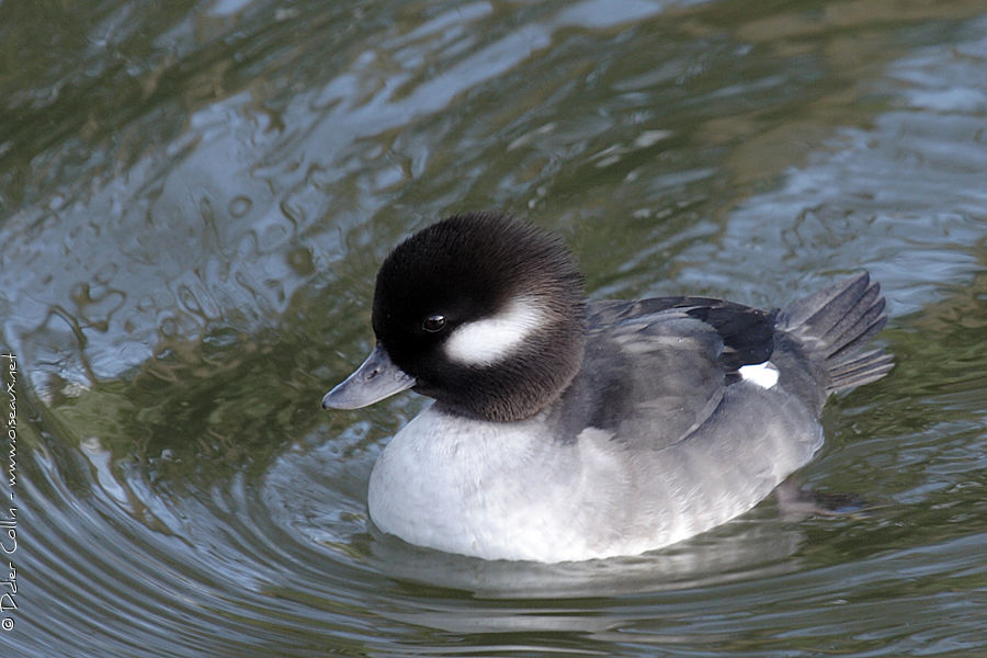 Bufflehead female adult, identification