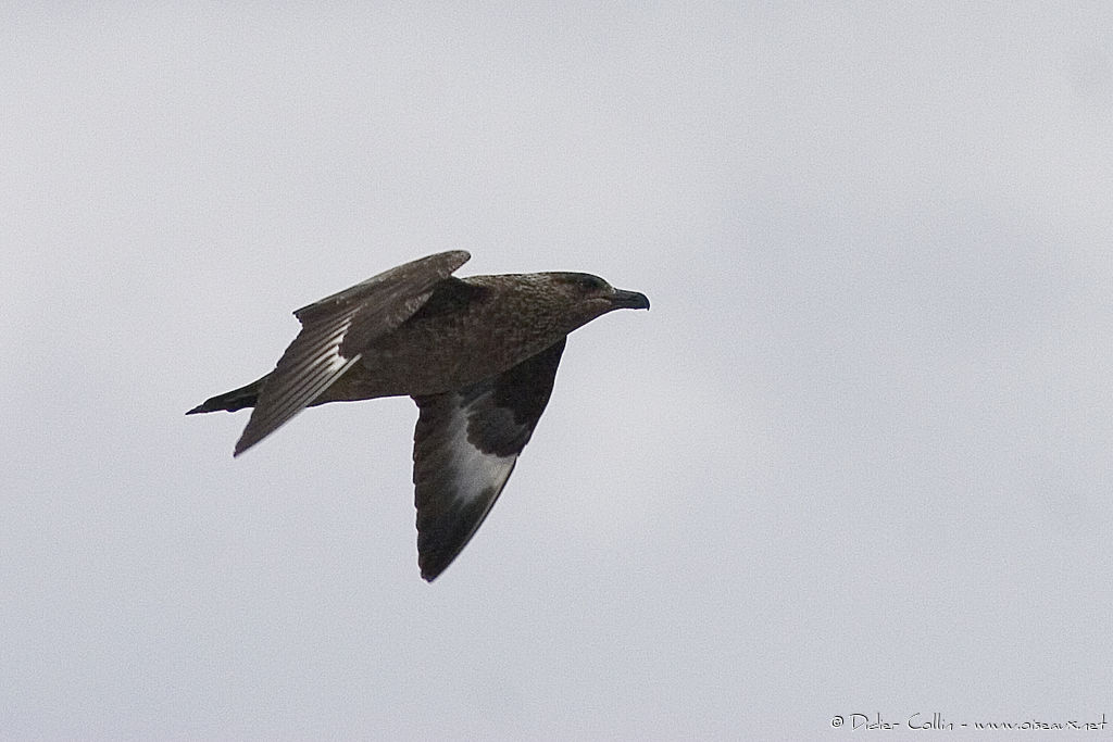 Great Skua, identification