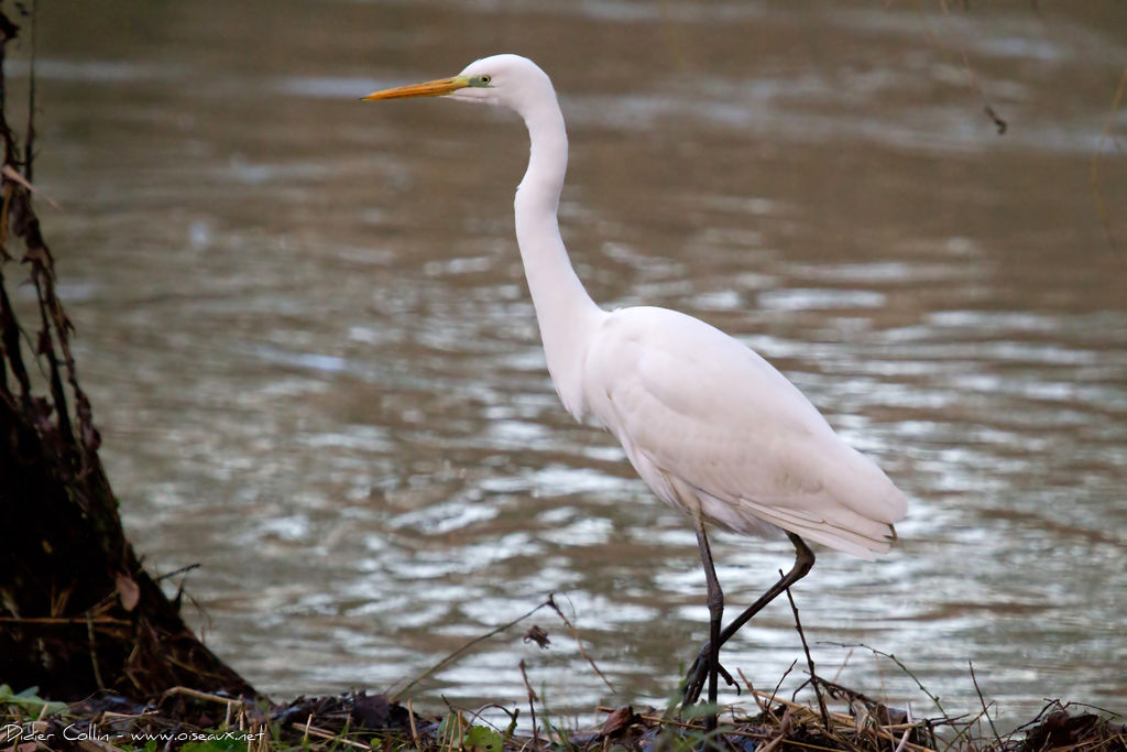 Grande Aigrette, identification
