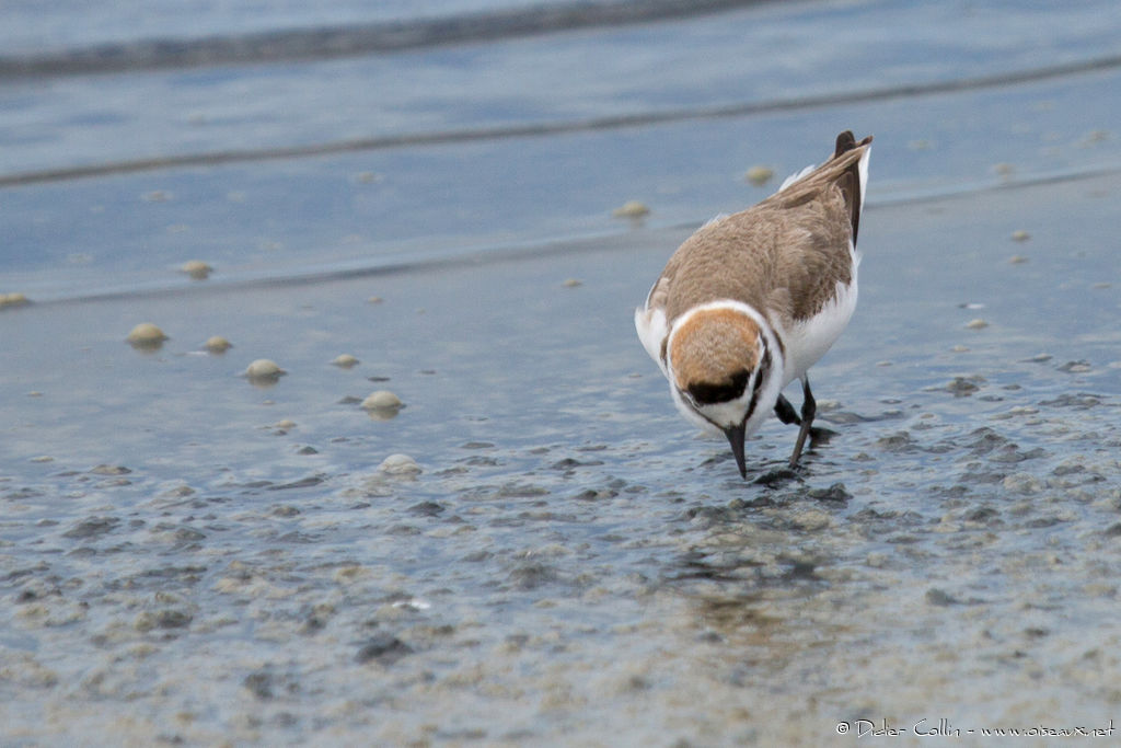 Kentish Plover male adult breeding, eats