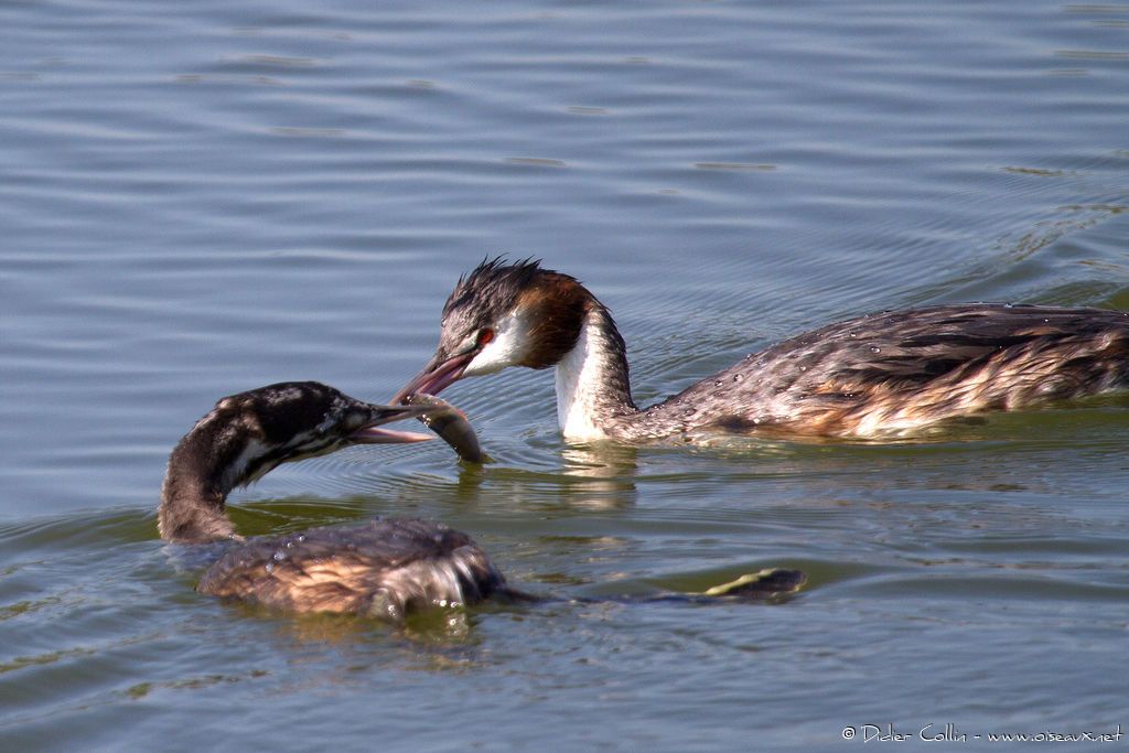 Great Crested Grebe, feeding habits
