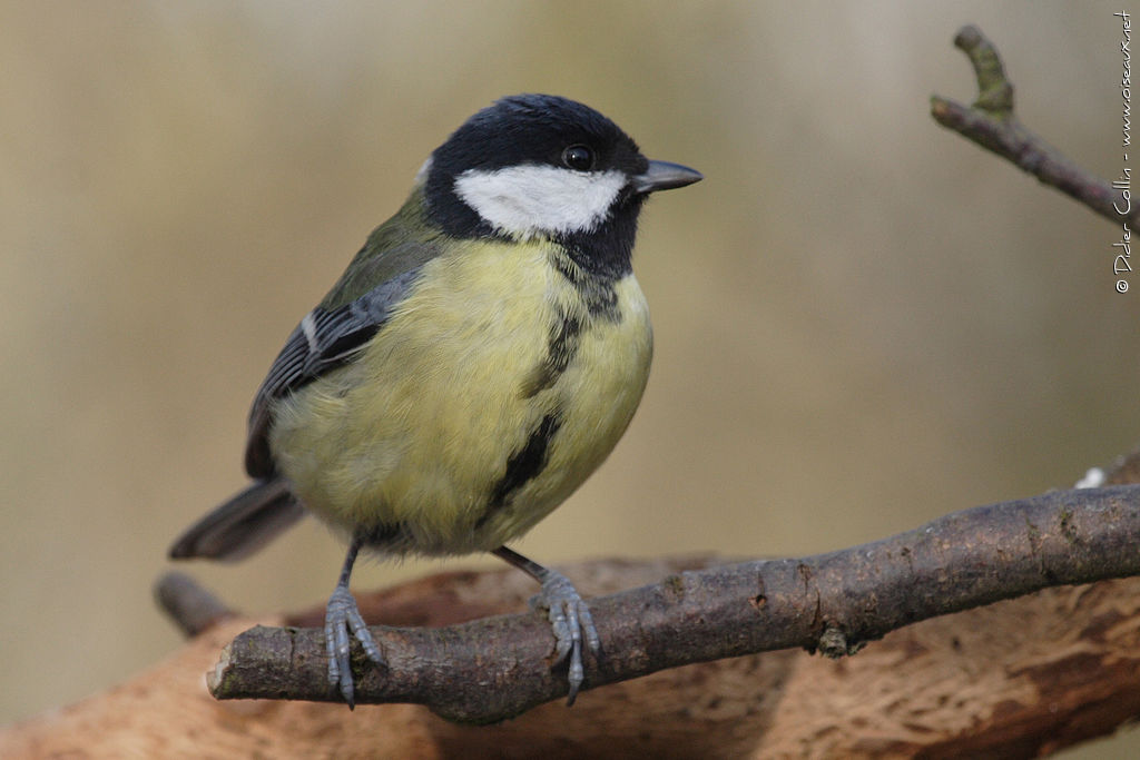 Great Tit female adult