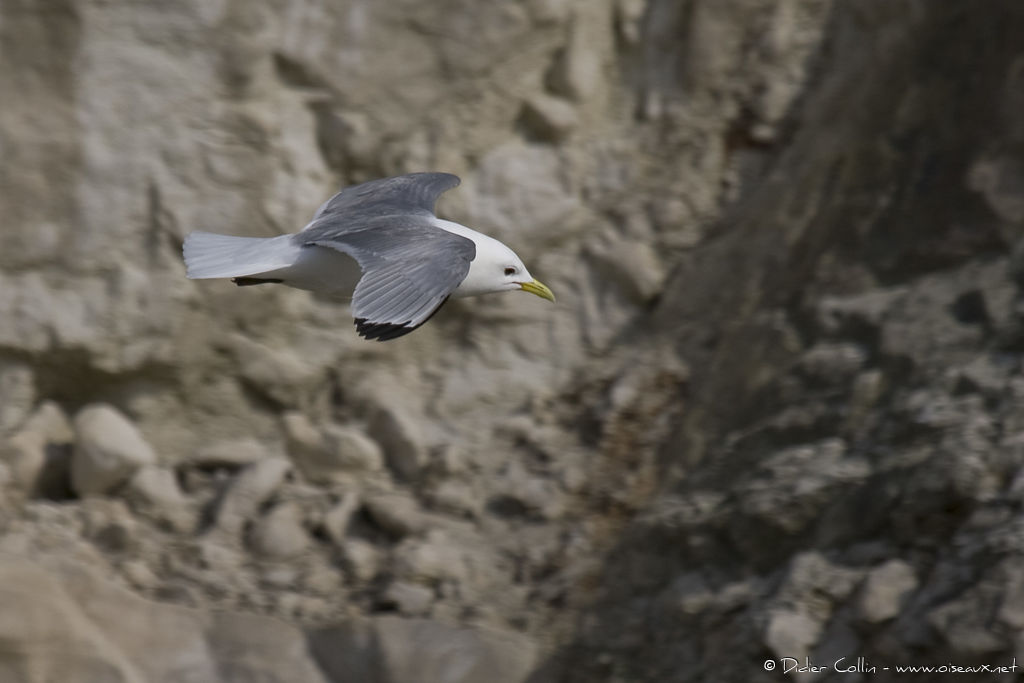 Mouette tridactyle adulte, Vol