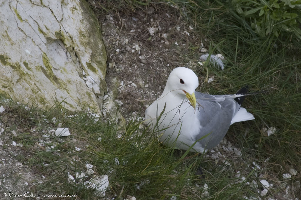 Mouette tridactyle adulte, Nidification, Comportement