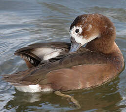Rosy-billed Pochard