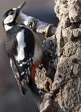 Great Spotted Woodpecker (canariensis)