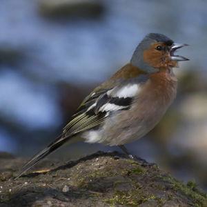 Pinson des arbres fringilla coelebs - Eloigner les oiseaux des arbres fruitiers ...