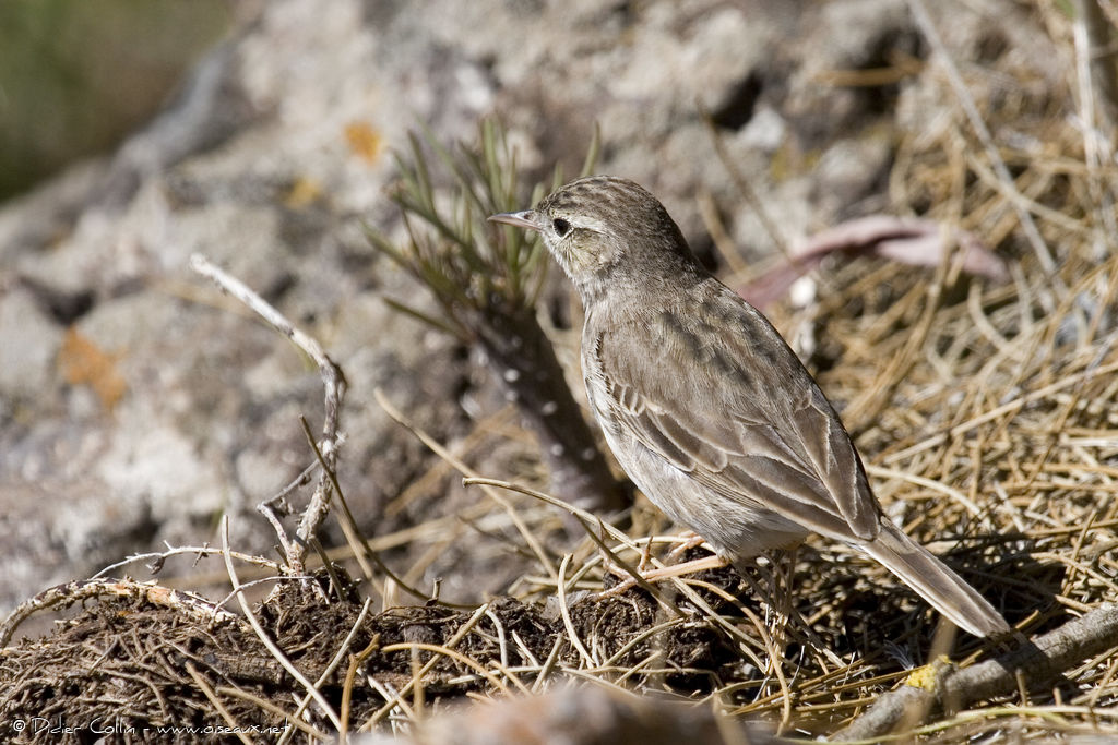Pipit de Berthelot, identification