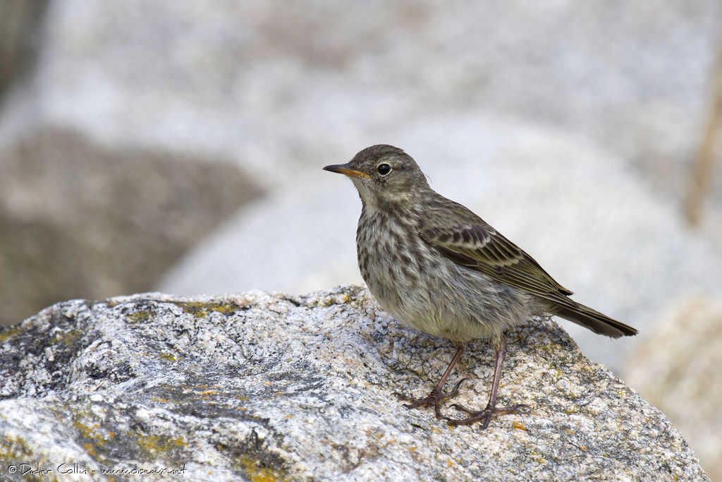 Pipit maritime adulte, identification