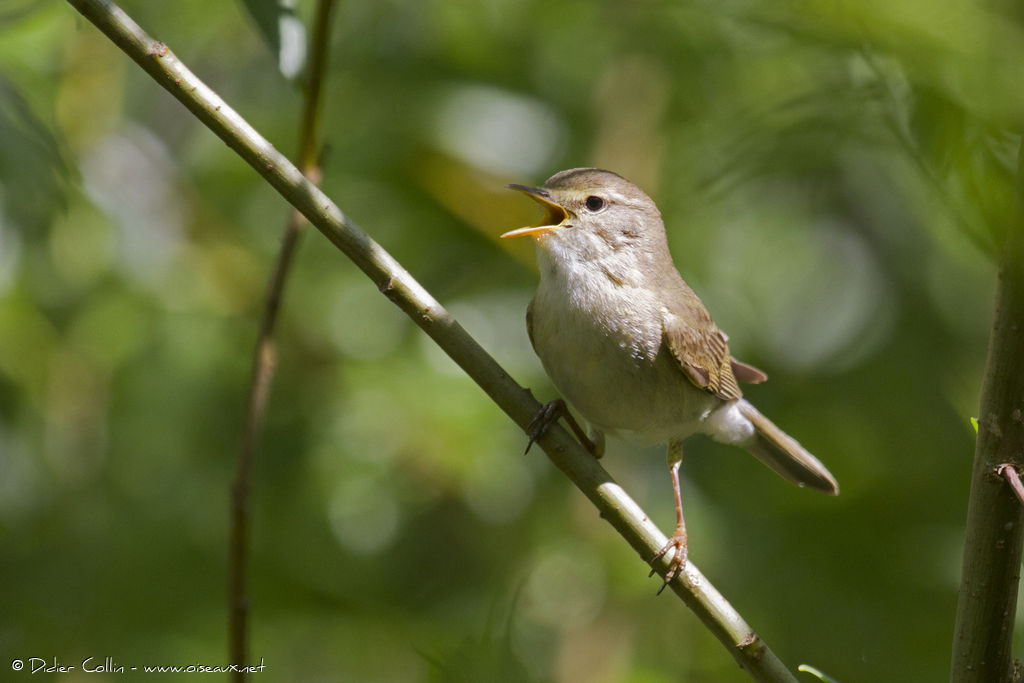 Willow Warbler, identification, song