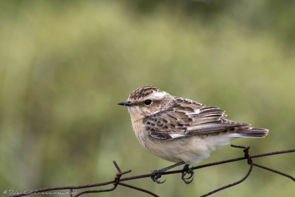 Whinchat female adult breeding, identification
