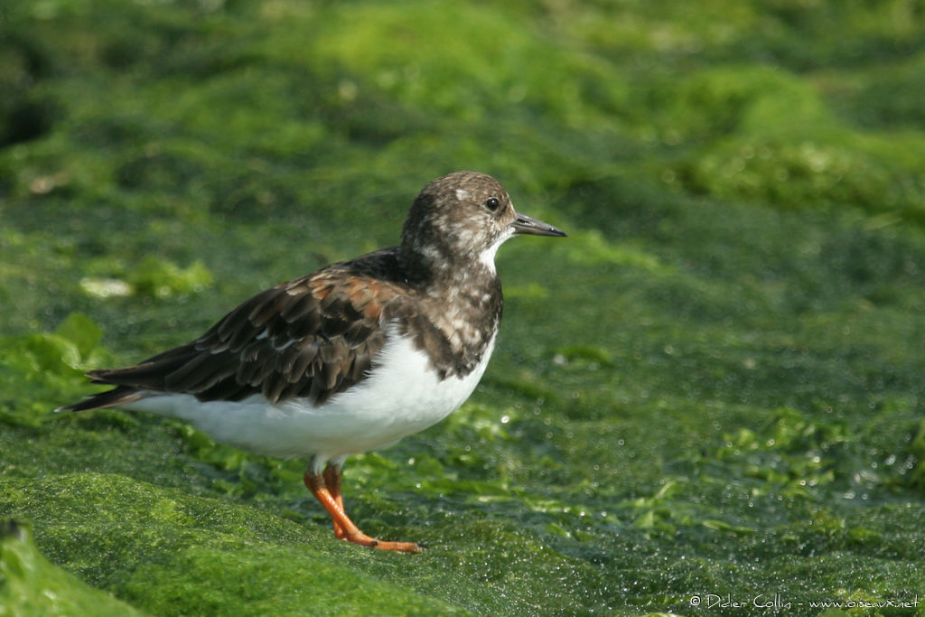 Ruddy Turnstone, identification