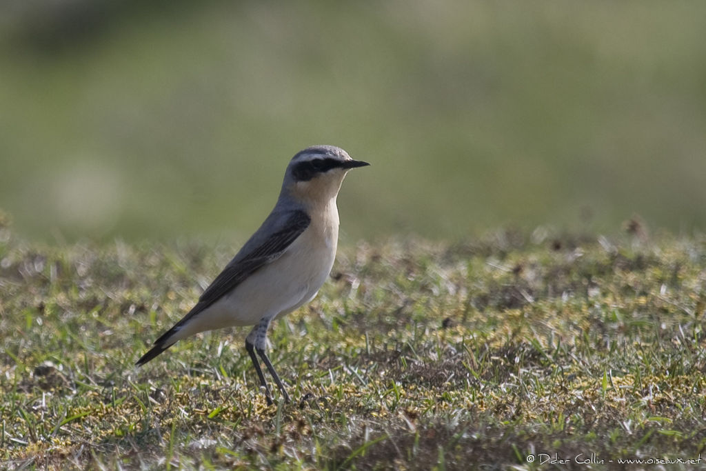 Northern Wheatear male adult, identification