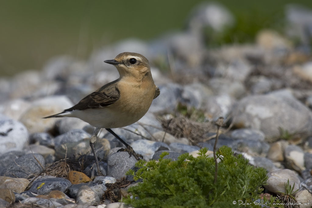 Northern Wheatear female adult, identification