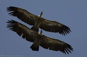 Parade de vautours fauves © Didier Collin